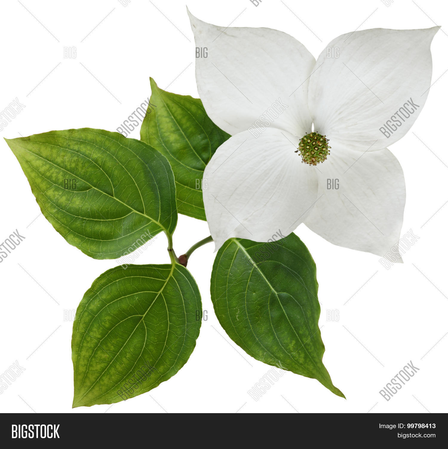 White Dogwood Flower Image Photo Free Trial Bigstock