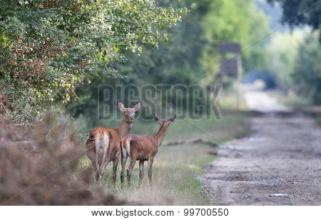 Hind With Young Deer