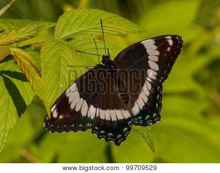 A beautiful White Admiral butterfly warms itself in the early morning sun on the edge of a Wisconsin northwoods forest. poster