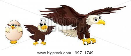 Development of an eagle at different ages. Vector isolated characters.