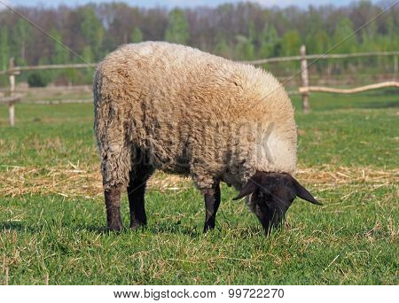 Suffolk sheep grazing on a pasture