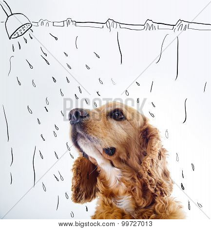 Cute English Cocker Spaniel puppy in front of a white background with shower courtain and water sket