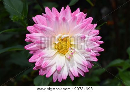 beautiful floral white and pink Dahlia flower