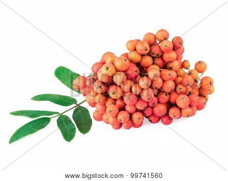 Rowan (Sorbus aucuparia) berries and leaves isolated on white