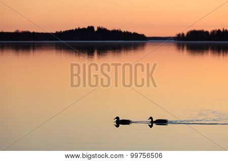 Ducks swimming in lake at sunset time