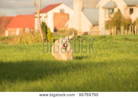 Golden Retriever Running In Fields