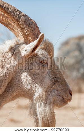 Side Portrait Of Saanen Goat