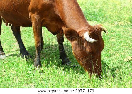 Cow grazing in meadow