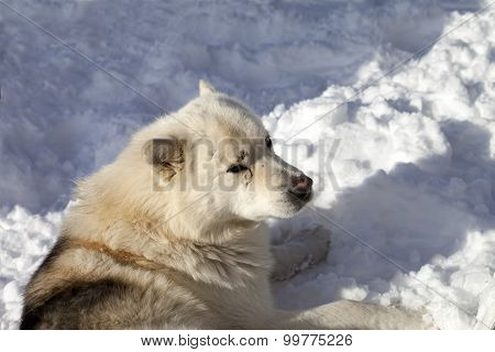 Dog Resting On Snow