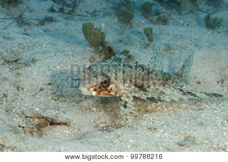 Flying Gurnard Resting On A Sandy Bottom - Bonaire
