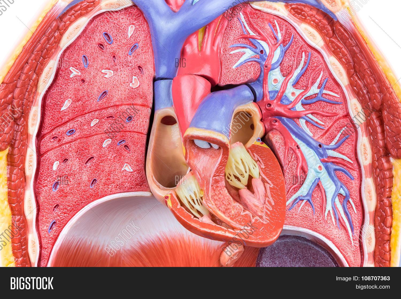 Model Human Body Lungs Heart Image & Photo | Bigstock