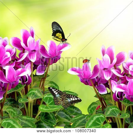 pink flower cyclamen