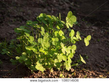 Morning Sunlit On Trefoil Tussock (trifolium)