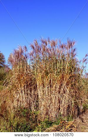 Chine Red Reeds