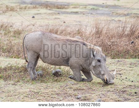 Common warthog in Ngorongoro Crater in Tanzania East Africa feeding. poster