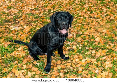 Black Labrador Retriever Sitting And Looking At Owner