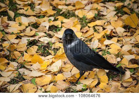 Jackdaw Walking On Yellow Fallen Leaves