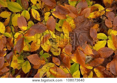 Macro Of Autumn Leafs.