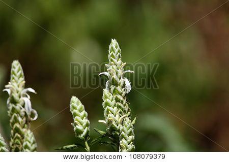Flowers Of Justicia Schimperiana