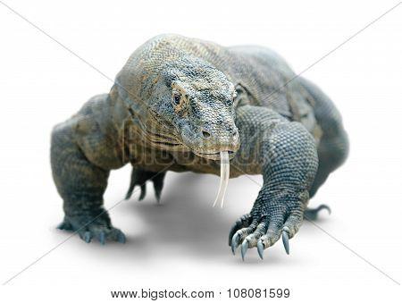 Komodo Dragon Isolated