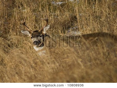 Deer In The Grass