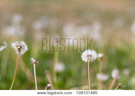 Dandelions In The Yard