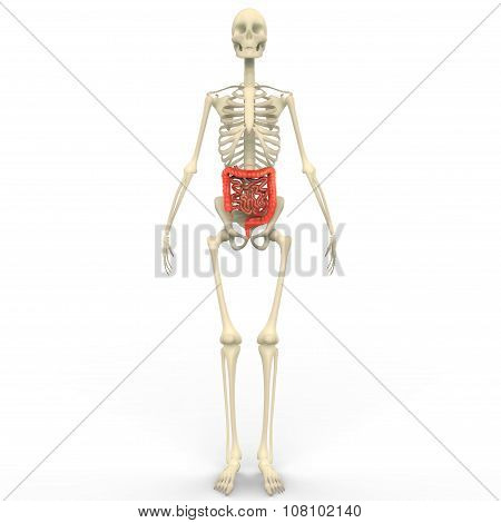 Large and Small Intestine with Skeleton