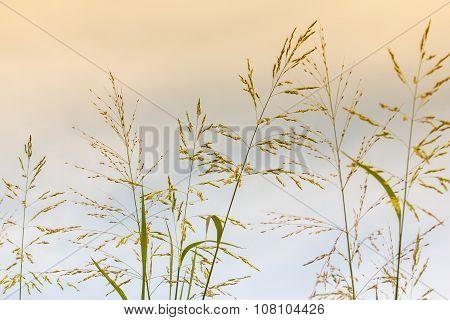 Gramineae Grass.