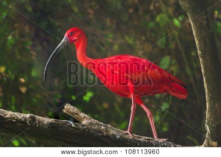 Scarlet ibis or Eudocimus ruber the national bird of Trinidad and Tobago