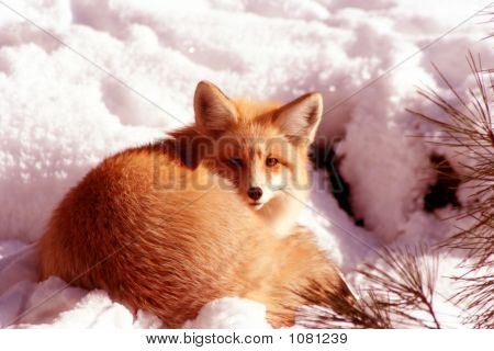 red fox laying in the sun on cold winter day **Note slight blurriness, best at small sizes. poster