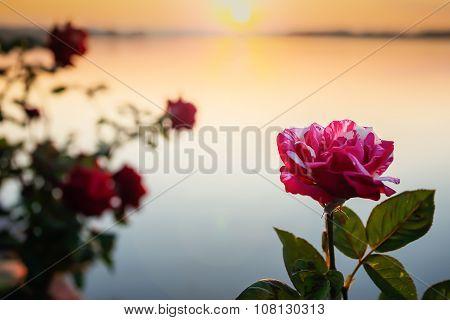Fairy Rose or Pygmy Rose. Pink mix White in morning near lake.
