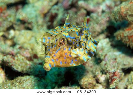 Thornback Cowfish