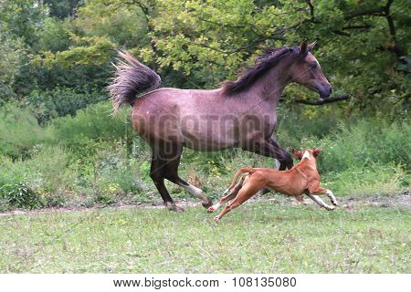 Mare Galloping On Pasture With A Bulldog