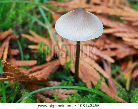 Mycena metata Mushroom in a Mossy Lawn
