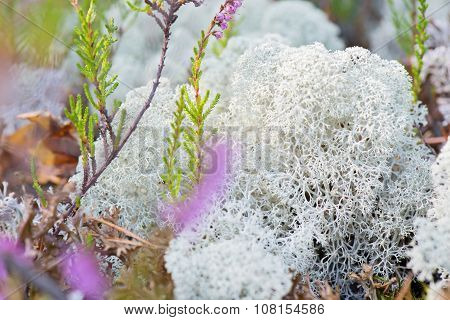 Macro shot of white reindeer moss