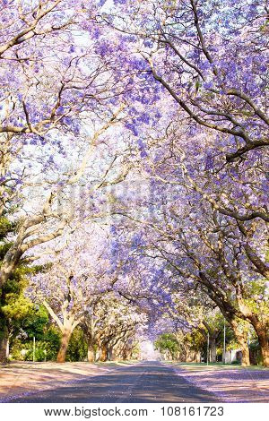 Jacaranda Trees Next To A Tarred Road In South Africa