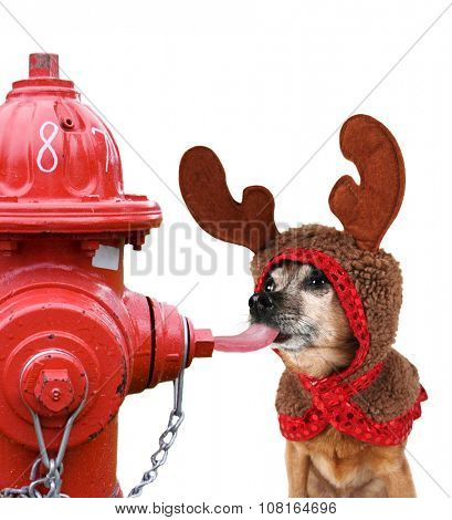 a chihuahua dressed up for christmas as a reindeer licking a red fire hydrant during winter and getting his tongue stuck - isolated on a white background for easy clipping path