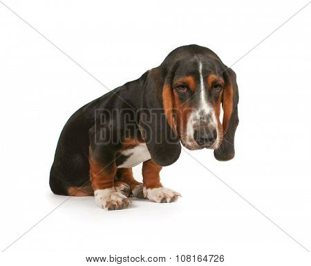 a baby basset hound beagle mix puppy pouting on a white isolated background