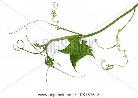 Luffa Loofah Leaf