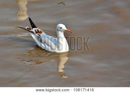 Slender-billed Gull (Chroicocephalus genei) bird is Swimming poster