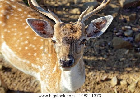 The Sika Deer, Cervus nippon, also known as the Spotted Deer or the Japanese Deer, is a species of deer native to much of East Asia and introduced to various other parts of the world.