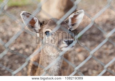 Deer Behind A Chainlink Fence