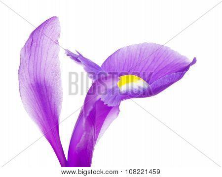 Violet Iris Flower Petals