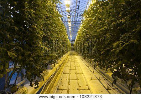Icelandic Tomato Greenhouse Farm