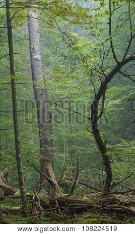 Old Poplar Tree In Autumnal Misty Forest