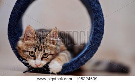 Domestic Multi-colored Kitten Plays