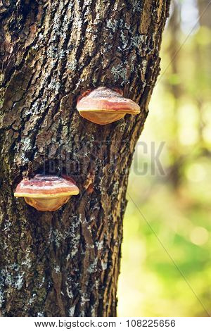 Polypore Mushrooms On Tree Stem