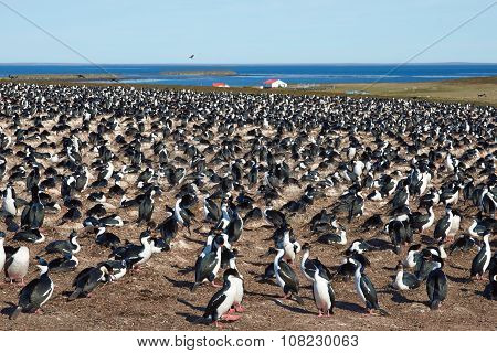 Large colony of Imperial Shag (Phalacrocorax atriceps albiventer) on Bleaker Island on the Falkland Islands poster