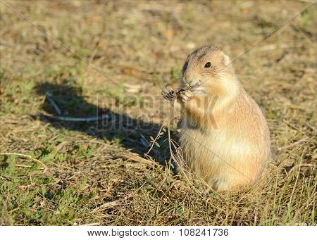Prairie dog in native grasslands