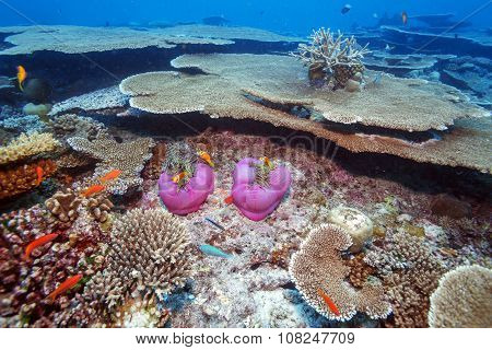 Clown Fishes Nested In Purple Anemones